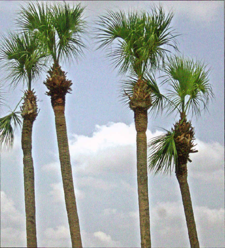 Cabbage Sabal Palm Trees Hurricane Cut Boca Raton